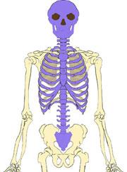 skeleton_axial_180