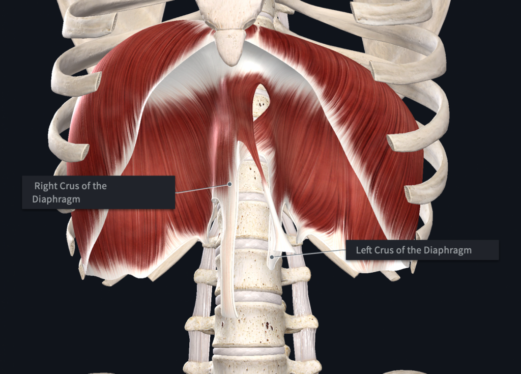 Breathing and posture is affected by the diaphragm's attachment. Further, there are greater differences in the right versus the left diaphragm.